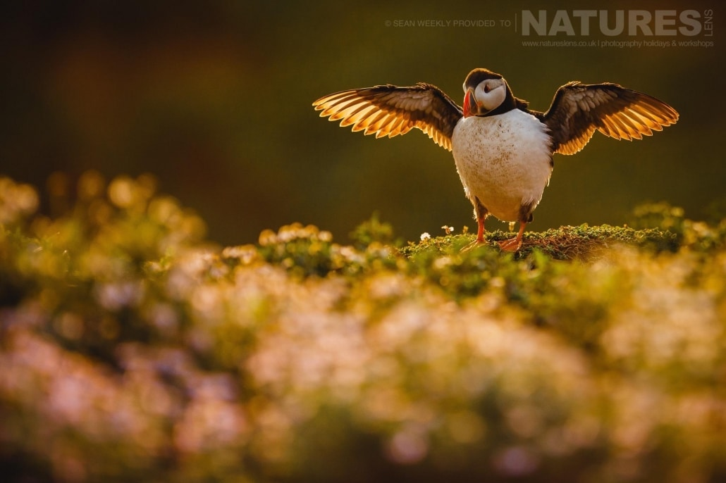 An atlantic puffin stretches it's wings before making a last attempt to fish for sand-eels at the end of the day on Skomer Island - staying on Skomer Island affords the possibility of capturing images of Puffins in golden light