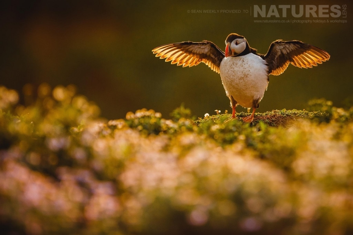 an atlantic puffin stretches its wings before making a last attempt to fish for sand eels at the end of the day on skomer island staying on skomer island affords the possibility of capturing image