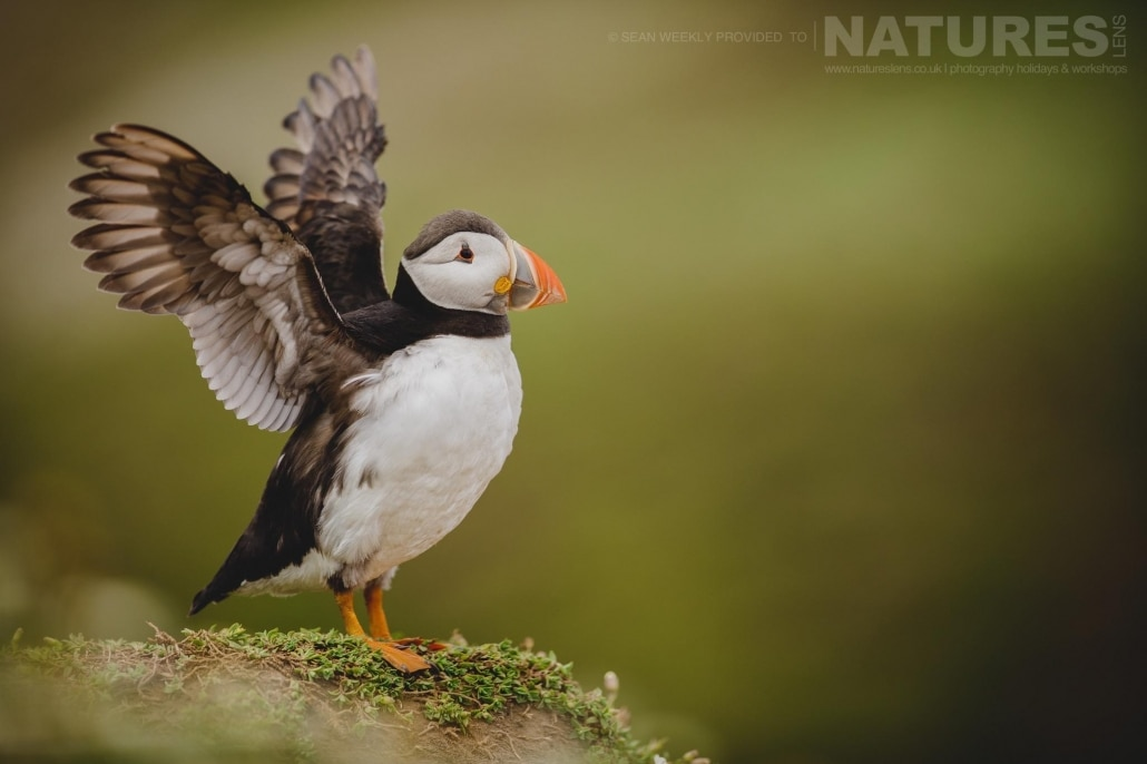 An atlantic puffin stretches it's wings prior to venturing out to sea to fetch sand-eels- typical of the kind of image that can be captured on the NaturesLens Skomer Puffin Photography Holiday