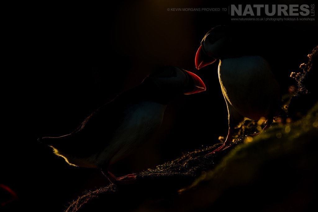 Fair Isle allows for experimenting with extreme light conditions - here a pair of courting puffins catch the last rays of sunlight - photographed on the NaturesLens Puffins of Fair Isle Photographic Holiday