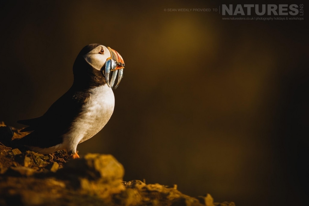 Having just landed with a bill full of sand-eels, one of Skomer's puffins is bathed golden in the last light of the day - staying on Skomer Island affords the possibility of capturing images of Puffins in golden light