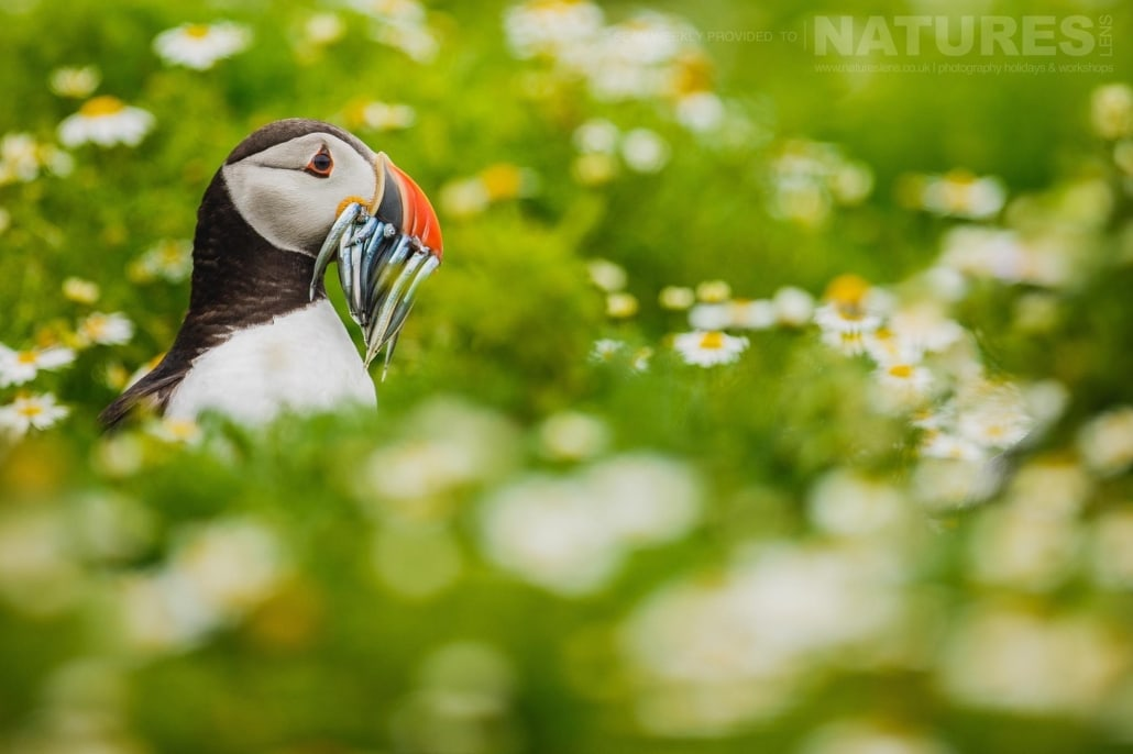 One of Skomer's famous puffins seeks out it's burrow amongst the sea campion with a bill full of sand-eels- typical of the kind of image that can be captured on the NaturesLens Skomer Puffin Photography Holiday