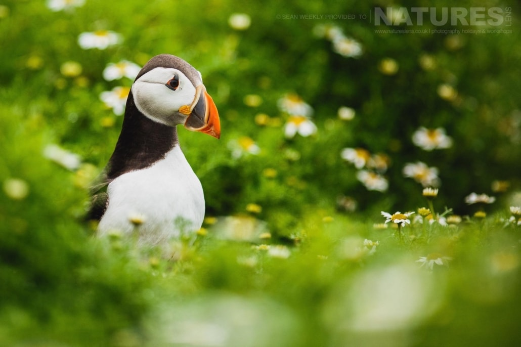 One of Skomer's famous puffins walks amongst the sea campion - typical of the kind of image that can be captured on the NaturesLens Skomer Puffin Photography Holiday