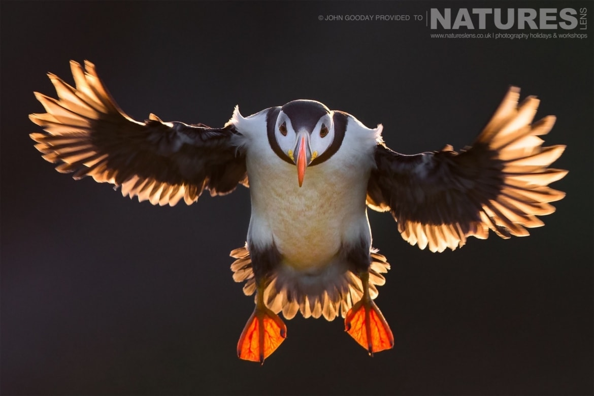 one of the atlantic puffins of skomer island beautifully backlit flies against the dark cliff on the opposite side of the wick photographed on the natureslens puffins of skomer island photography h