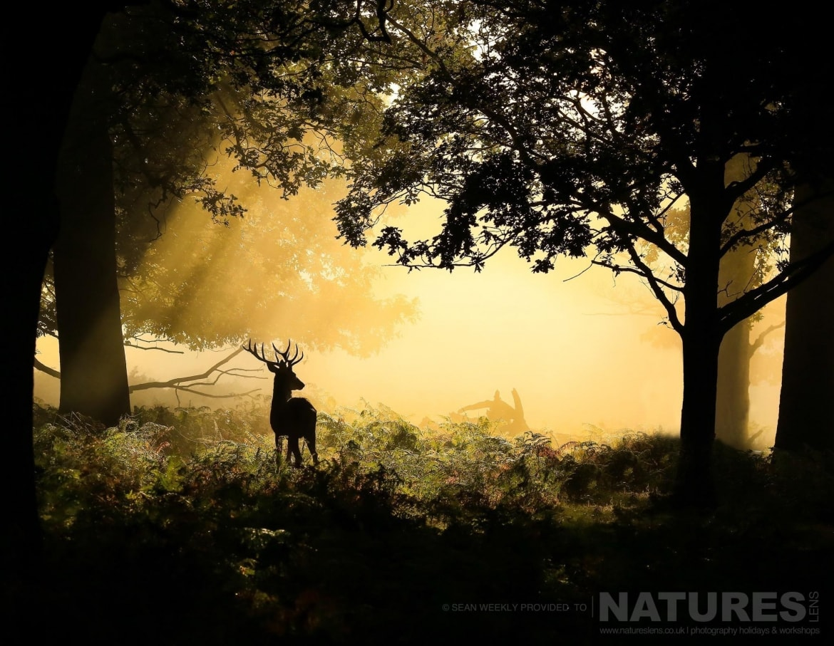 proving that not all images of the deer have to be frame filling a lone stag in the forest an example of the creative red deer stag imagery achieved by natureslens red deer in rut photography work