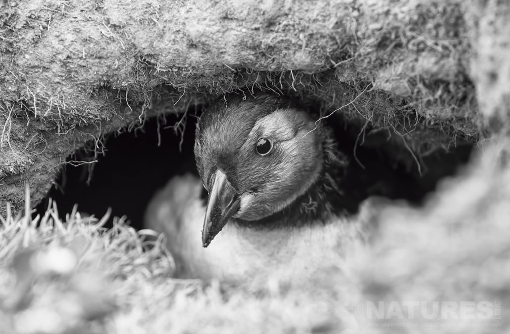 A Puffling - the young of a puffin - peeks from the burrow in which it spent the first few weeks of life - photographed during a NaturesLens Skomer Puffins Photography Holiday