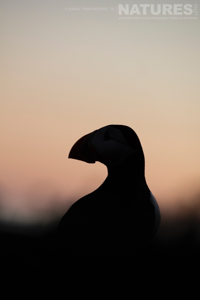 A silhouetted puffin photographed whilst on the NaturesLens Puffins of Skomer Photography Holiday