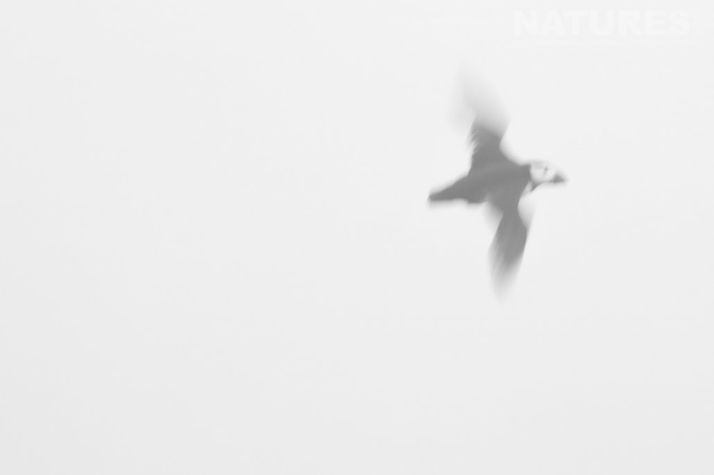 A slow shutter speed puffin image captured on a foggy day whilst on the NaturesLens Puffins of Skomer Photography Holiday