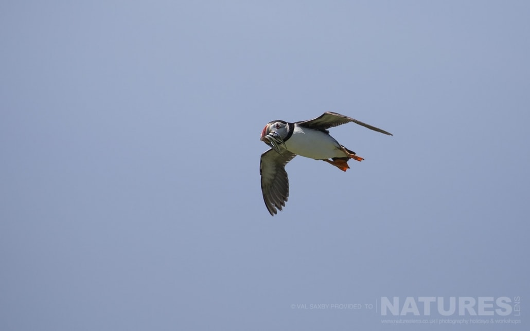 An Atlantic Puffin heads back to the island, after venturing out to sea, with a beak full of sand-eels - photographed during a NaturesLens Skomer Puffins Photography Holiday