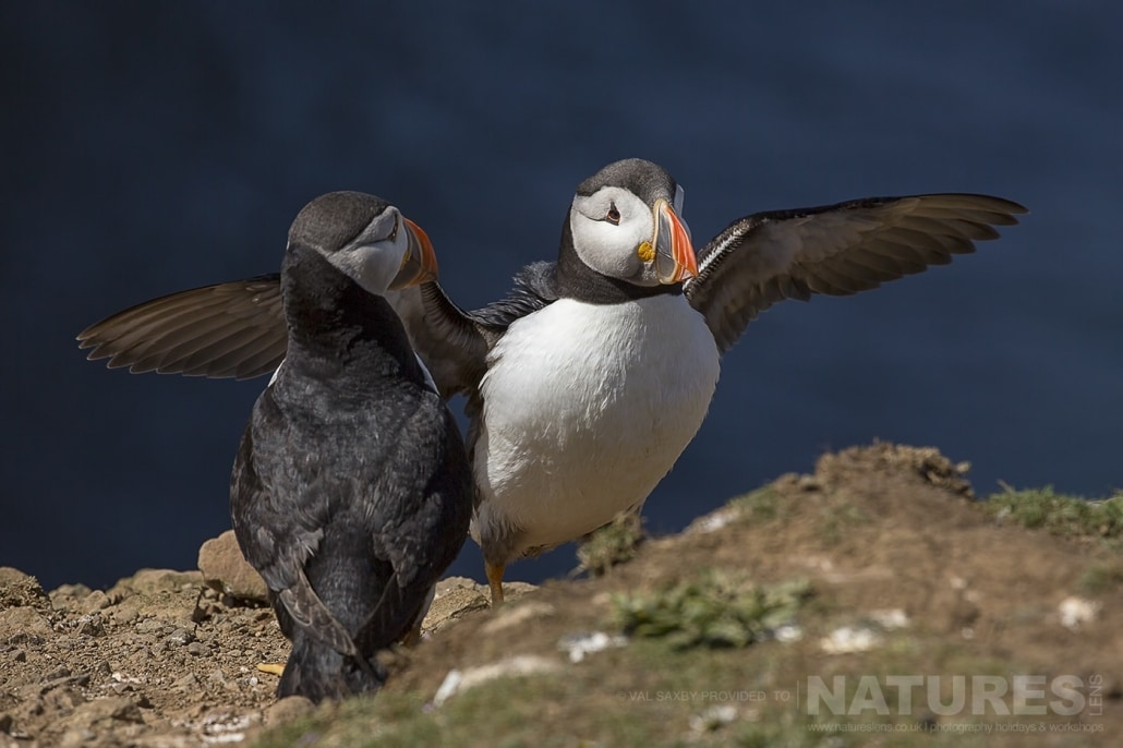 An Atlantic Puffin lands back on the island after venturing out to sea - photographed during a NaturesLens Skomer Puffins Photography Holiday