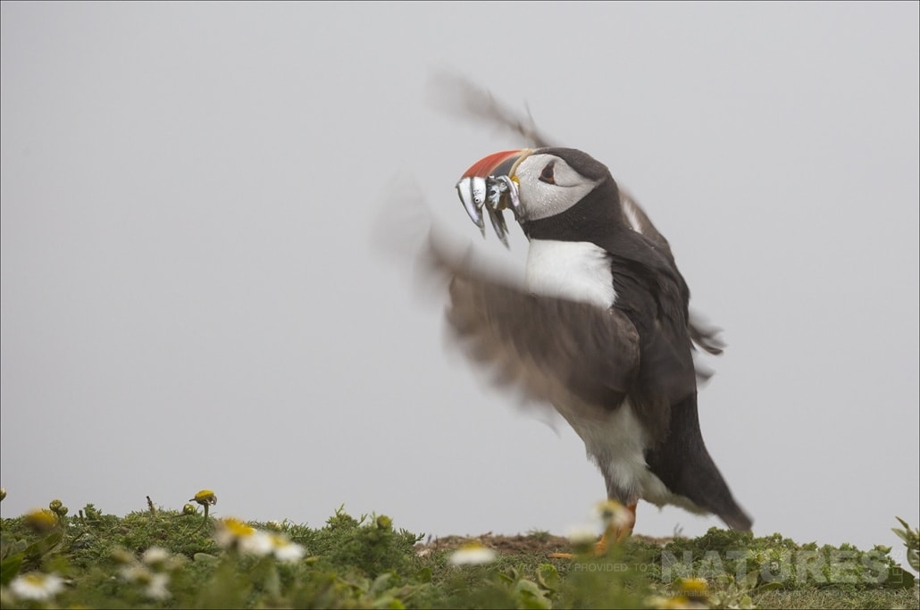 An Atlantic Puffin posing like a conductor after a successful dive for sand-eels - photographed during a NaturesLens Skomer Puffins Photography Holiday
