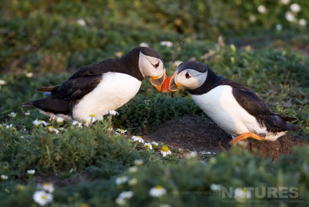 A pair of Atlantic Puffins rub beaks in the soft evening light - photographed during a NaturesLens Skomer Puffins Photography Holiday