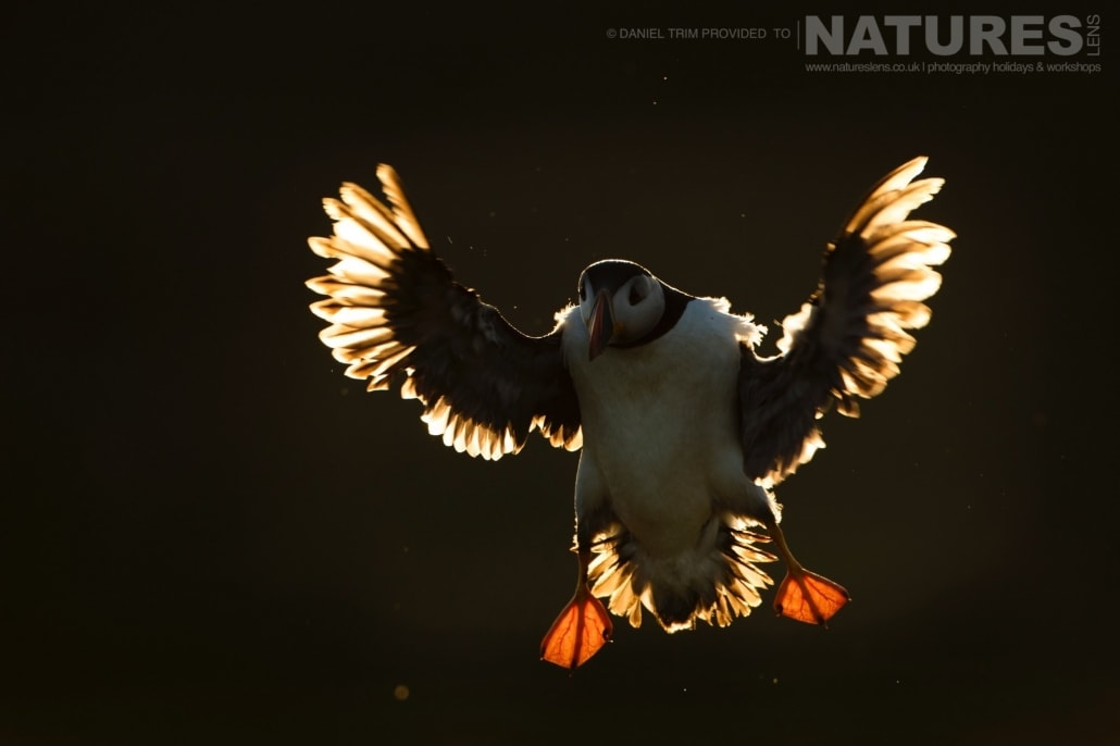 As the sun set, the opportunity for backlit puffin images becomes available - captured whilst on the NaturesLens Puffins of Skomer Photography Holiday