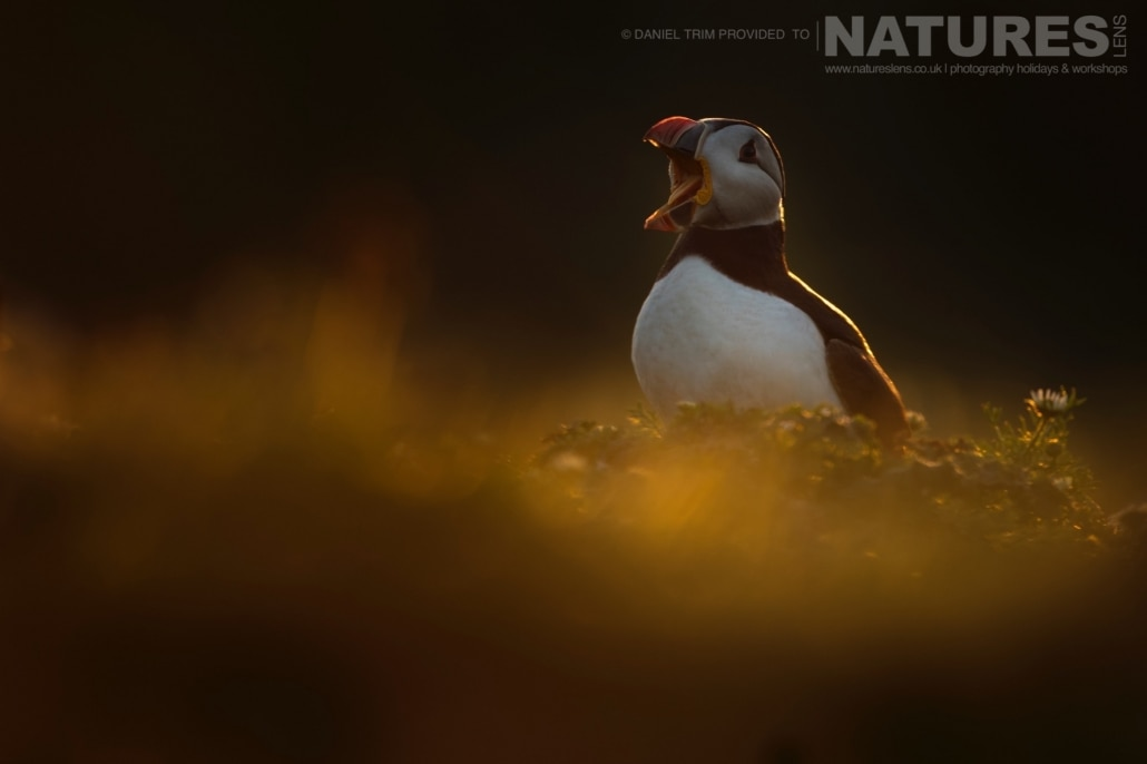 As the sun sets on the island, captured images, such as this calling puffin, take on a magical golden light - captured whilst on the NaturesLens Puffins of Skomer Photography Holiday.