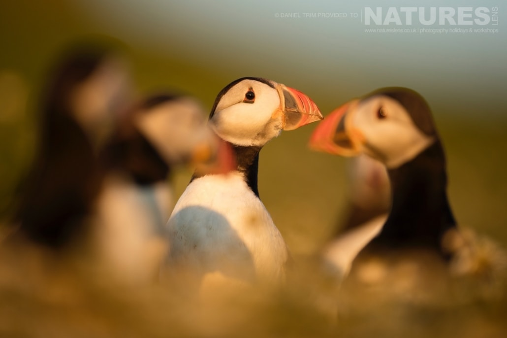 As the sun sets on the island, captured images, such as this grouo of puffins, take on a magical golden light - captured whilst on the NaturesLens Puffins of Skomer Photography Holiday.