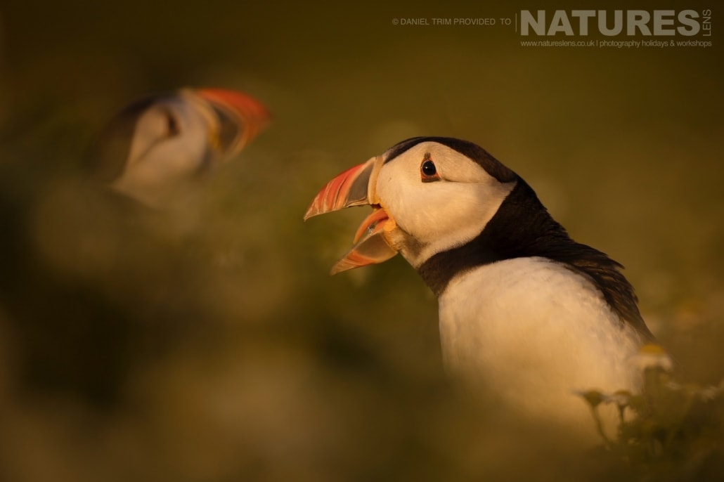 As the sun sets on the island, captured images take on a magical golden light - captured whilst on the NaturesLens Puffins of Skomer Photography Holiday.