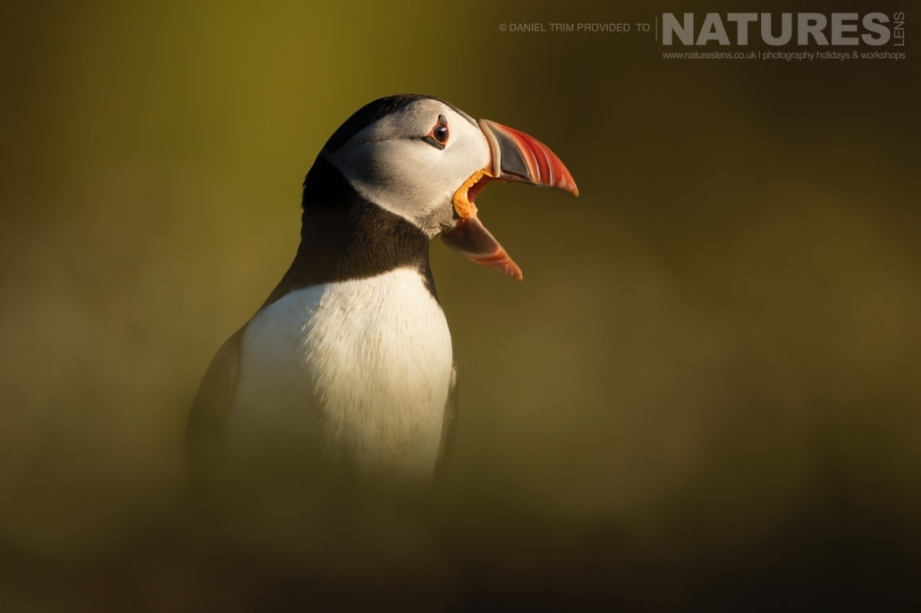As the sun sets on the island & the light softens, the images take on a magical golden light - captured whilst on the NaturesLens Puffins of Skomer Photography Holiday