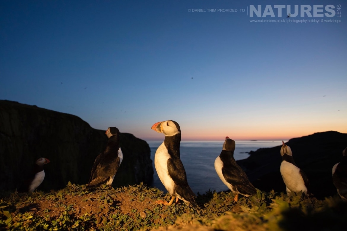 As the sun sets the puffins remain active and distinctive images may be captured photographed whilst on the NaturesLens Puffins of Skomer Photography Holiday