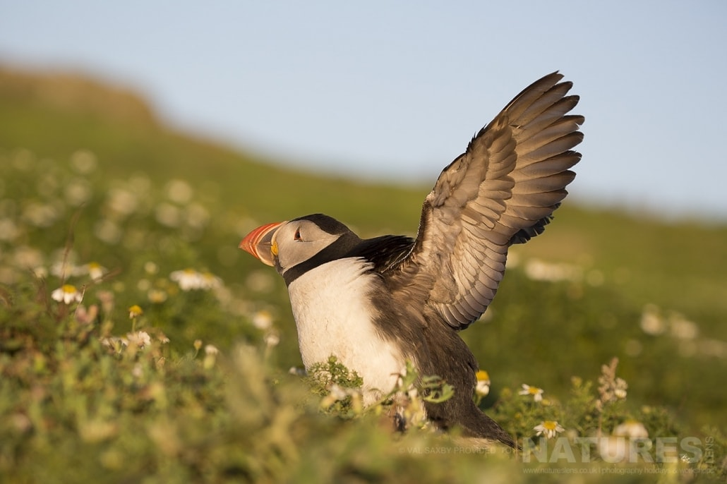 Illuminated by the golden glow of the evening light an Atlantic Puffin stretches wings prior to heading out to sea - photographed during a NaturesLens Skomer Puffins Photography Holiday