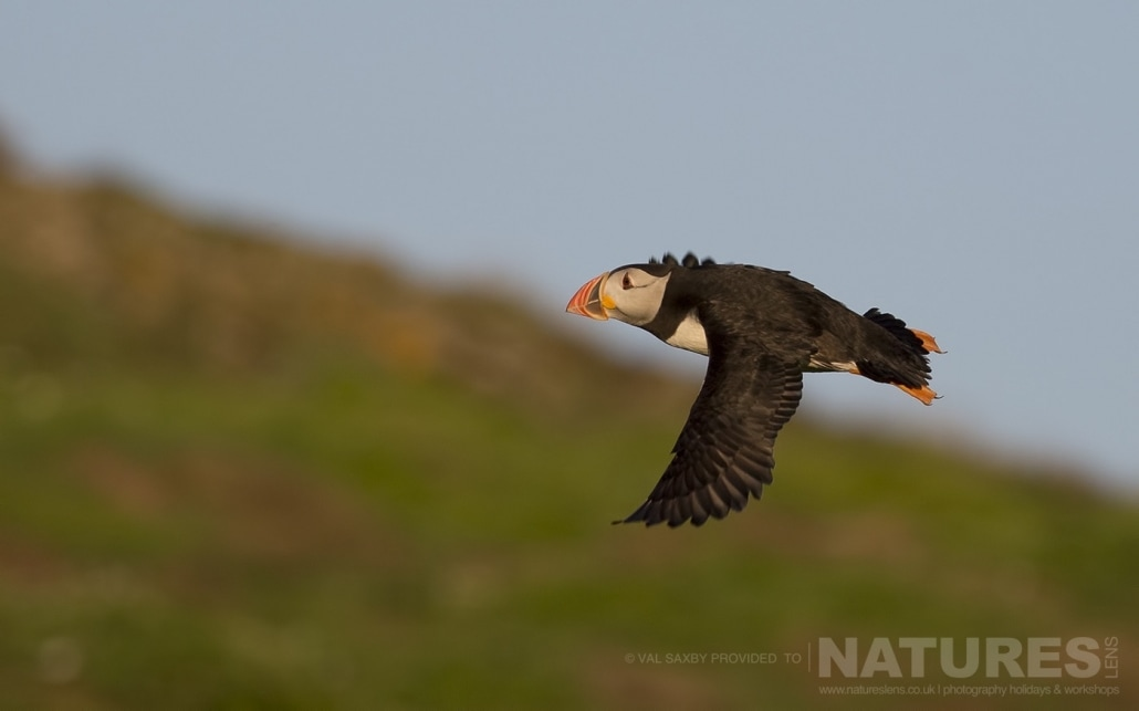One of the Atlantic Puffins of Skomer Island returns to the island in the golden light of the early evening - photographed during a NaturesLens Skomer Puffins Photography Holiday
