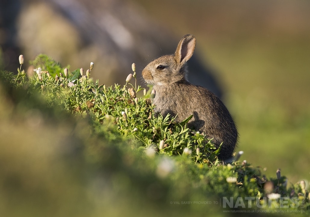 One of the baby rabbits that share Skomer Island as home with the sea birds - photographed during a NaturesLens Skomer Puffins Photography Holiday