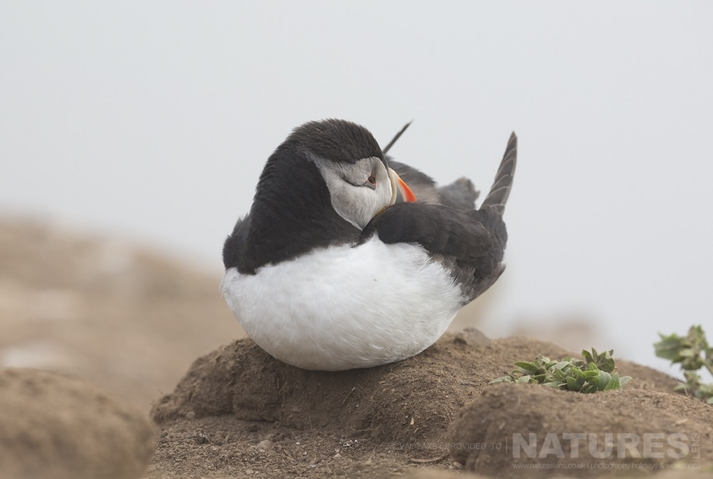 One of the pufffins of Skomer demonstrates a fine balancing act at The Wick - photographed during a NaturesLens Skomer Puffins Photography Holiday