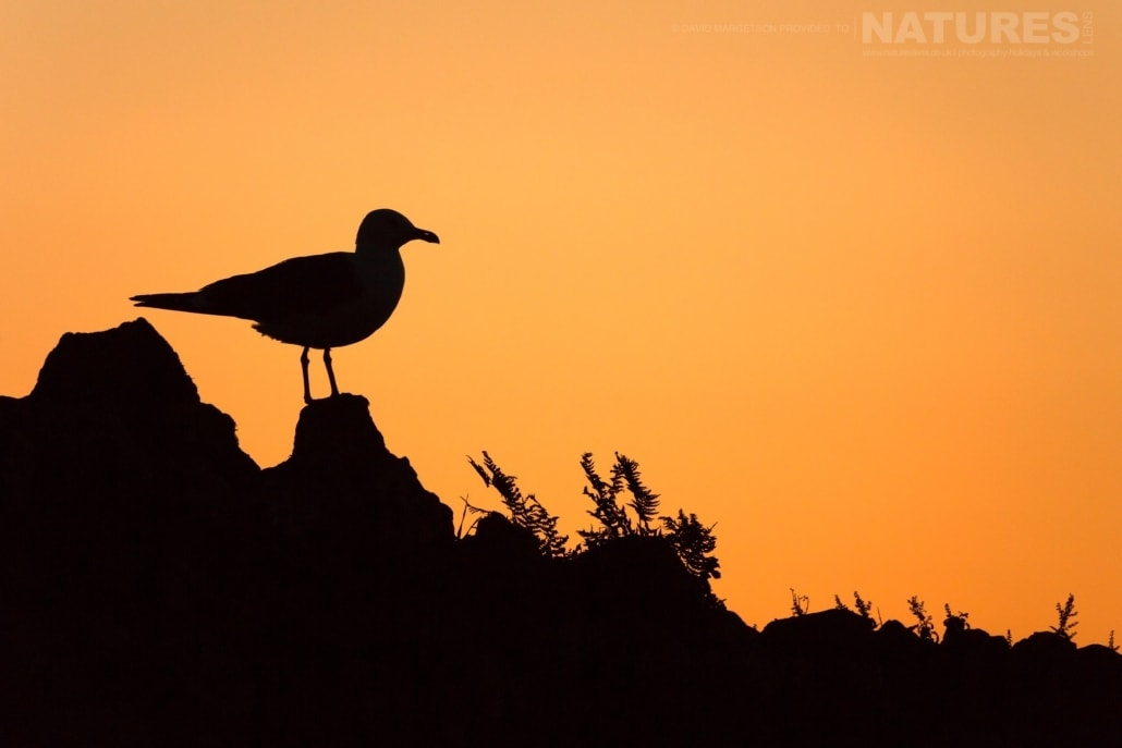 Silhouette of a gull - photographed by David Margetson on the 2017 Skomer Puffins Photography Holiday