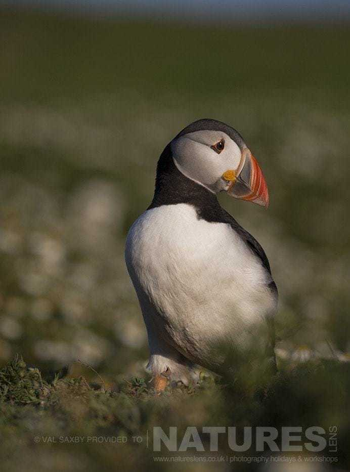 The classic Atlantic Puffin portrait - photographed during a NaturesLens Skomer Puffins Photography Holiday