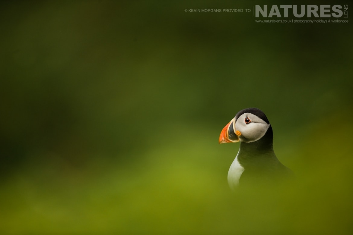 a serene portrait of one of the atlantic puffins of skomer typical of the image that you will be able to capture on the natureslens skomer puffins photography holiday