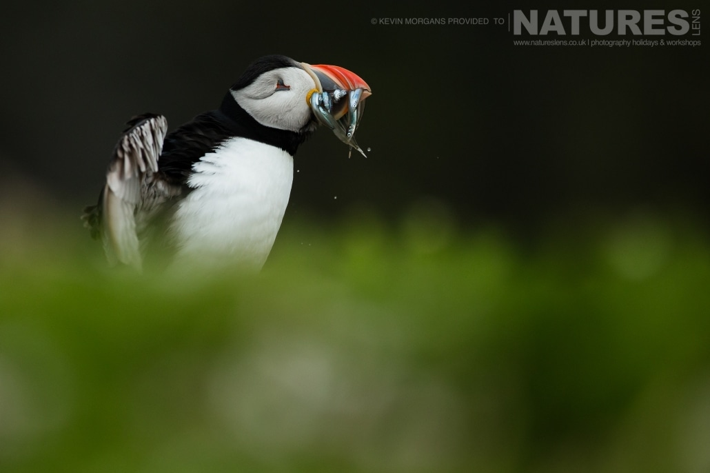 Having just landed with a great catch of sand-eels, one of the Atlantic Puffins of Skomer, shakes itself dry - typical of the image that you will be able to capture on the NaturesLens Skomer Puffins Photography Holiday