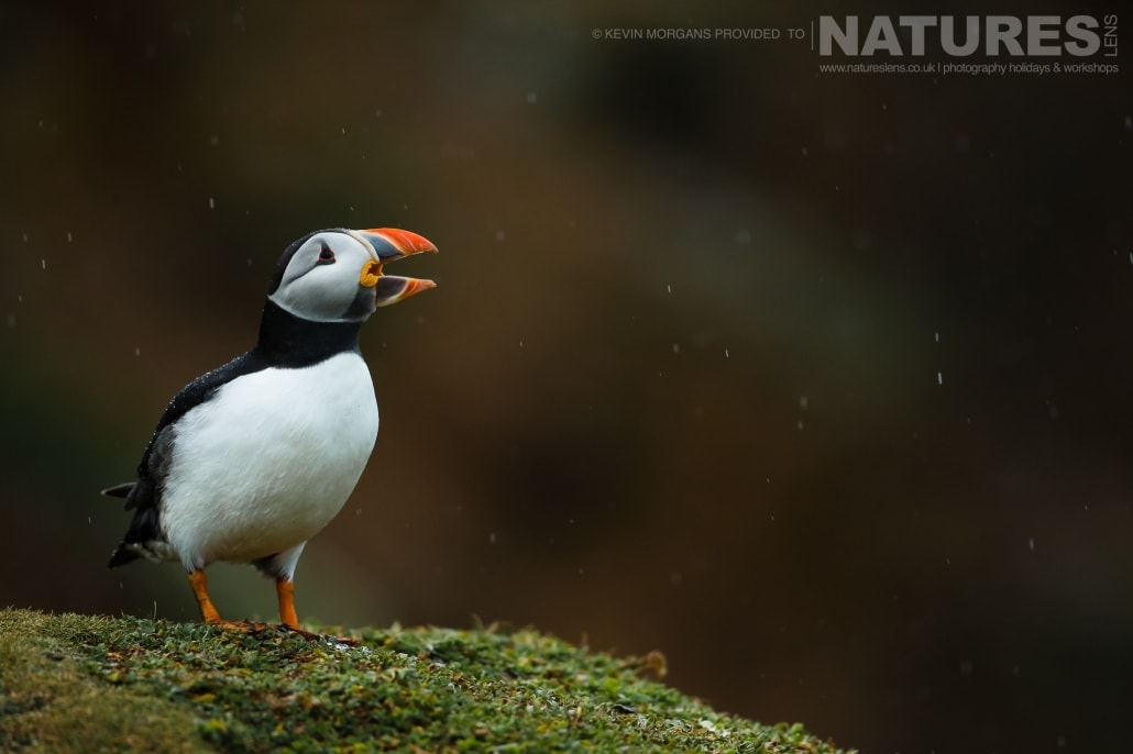 One of the Atlantic Puffins of Skomer, calling in the rain - typical of the image that you will be able to capture on the NaturesLens Skomer Puffins Photography Holiday