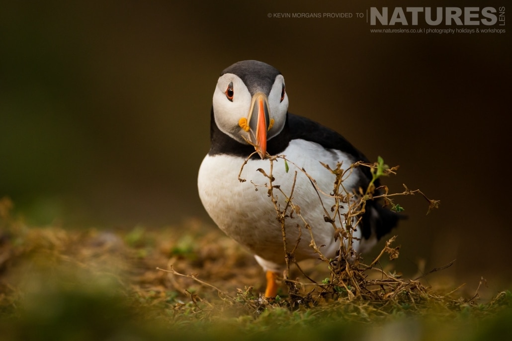 One of the Atlantic Puffins of Skomer, gathering nesting material to line the burrow with - typical of the image that you will be able to capture on the NaturesLens Skomer Puffins Photography Holiday