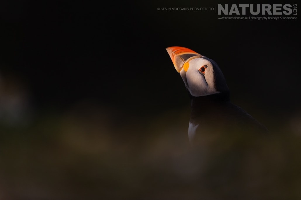 One of the Atlantic Puffins of Skomer illuminated by the last rays of the setting sun in the evening light - typical of the image that you will be able to capture on the NaturesLens Skomer Puffins Photography Holiday