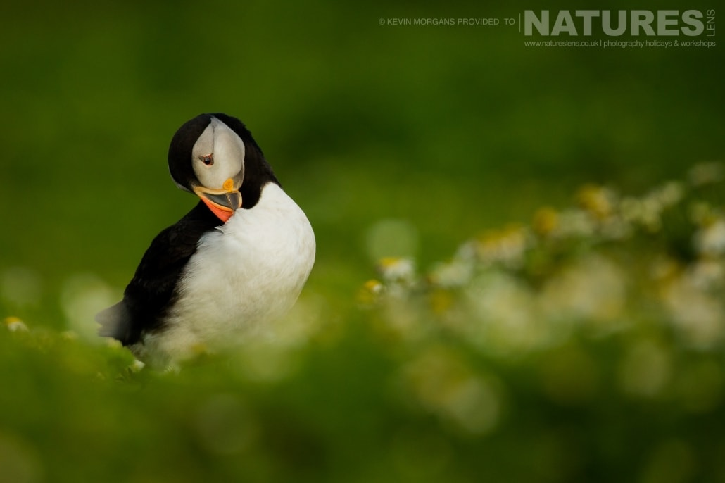 One of the Atlantic Puffins of Skomer preens itself amongst the sea campions that litter the island - typical of the image that you will be able to capture on the NaturesLens Skomer Puffins Photography Holiday
