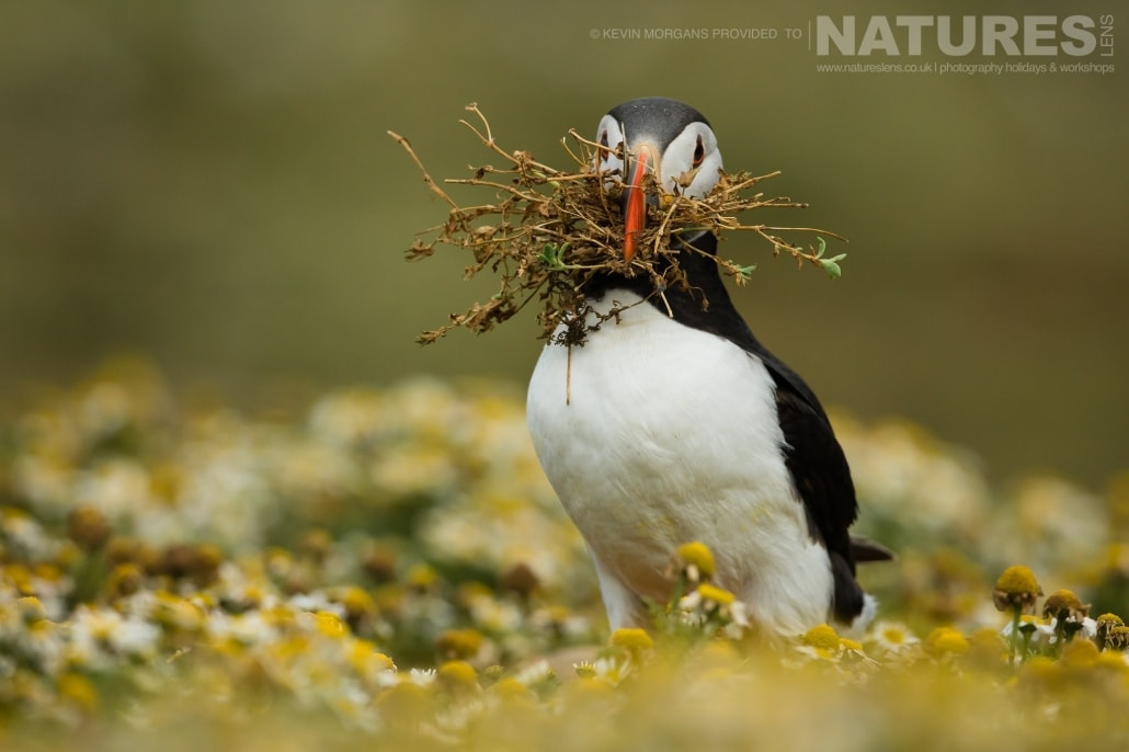 One of the Atlantic Puffins of Skomer, with a bill full of nesting material - typical of the image that you will be able to capture on the NaturesLens Skomer Puffins Photography Holiday