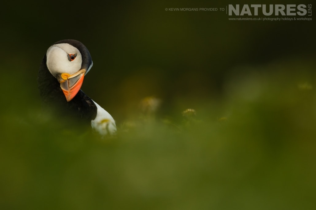 The spectacular evening light provides a gentle catchlight in the eye of one of the Atlantic Puffins of Skomer - typical of the image that you will be able to capture on the NaturesLens Skomer Puffins Photography Holiday