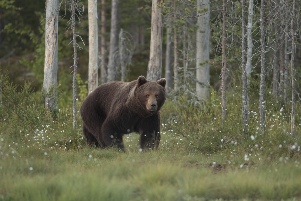 A European Brown Bear emerges from the forest - typical of the type of image that may be captured photographed at the location used for the NaturesLens Brown Bears of Finland Photography Holiday
