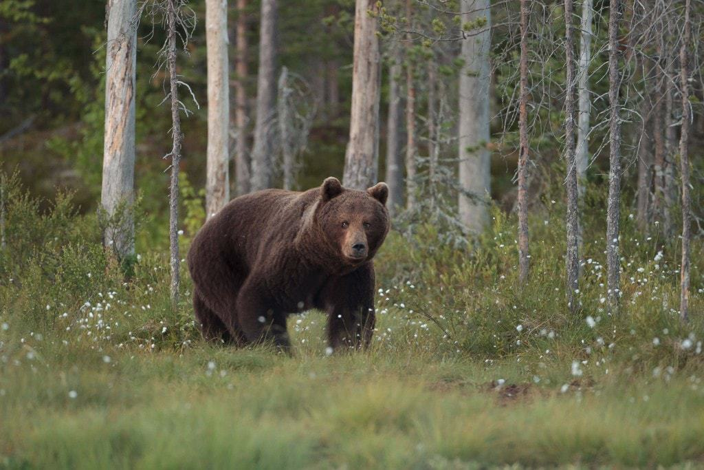 A European Brown Bear photographed at the location used for the NatureslLens Brown Bears of Finland Photography Holiday