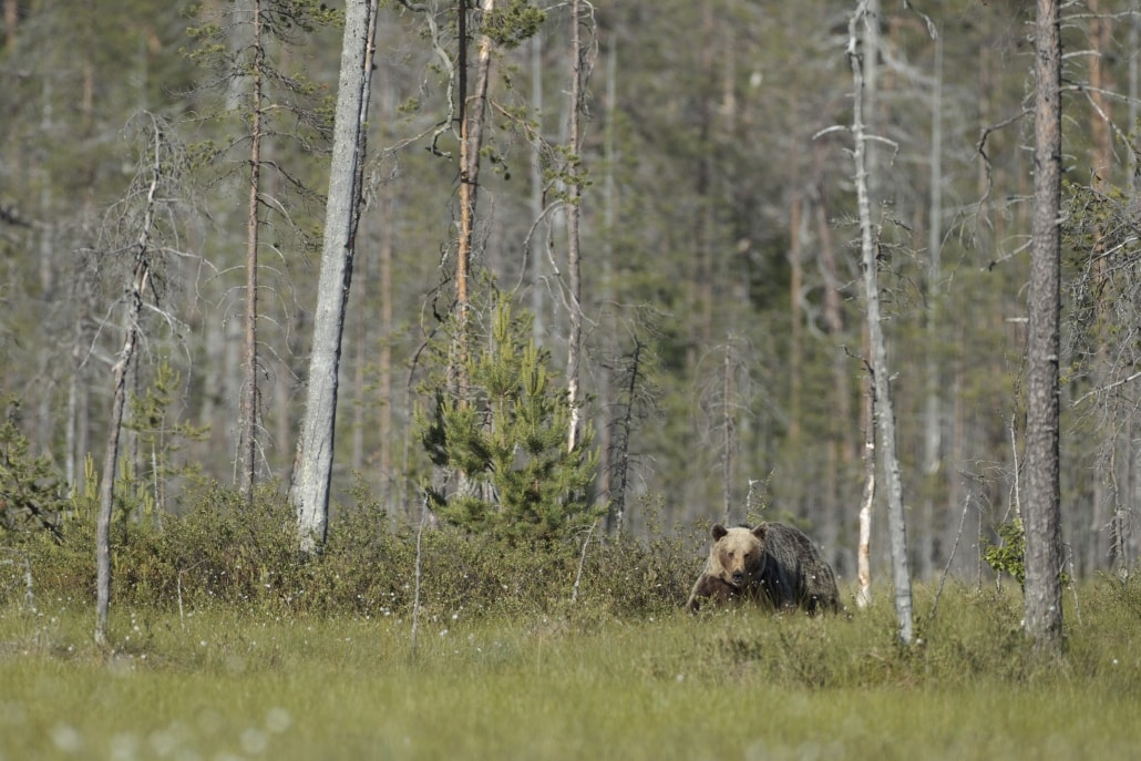 A European Brown Bear - typical of the type of image that may be captured photographed at the location used for the NaturesLens Brown Bears of Finland Photography Holiday