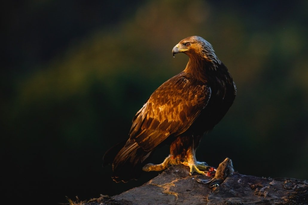 A Golden Eagle Bathed In Evening Light Photographed During The NaturesLens Golden Eagles & Raptors Of Spain WIldlife Photography Holiday