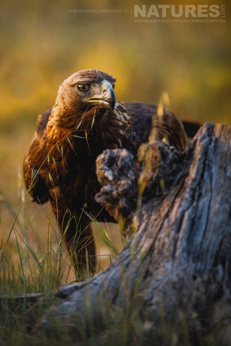 A Golden Eagle Peers Around An Old Tree Stump   Photographed During The NaturesLens Golden Eagles & Raptors Of Spain WIldlife Photography Holiday