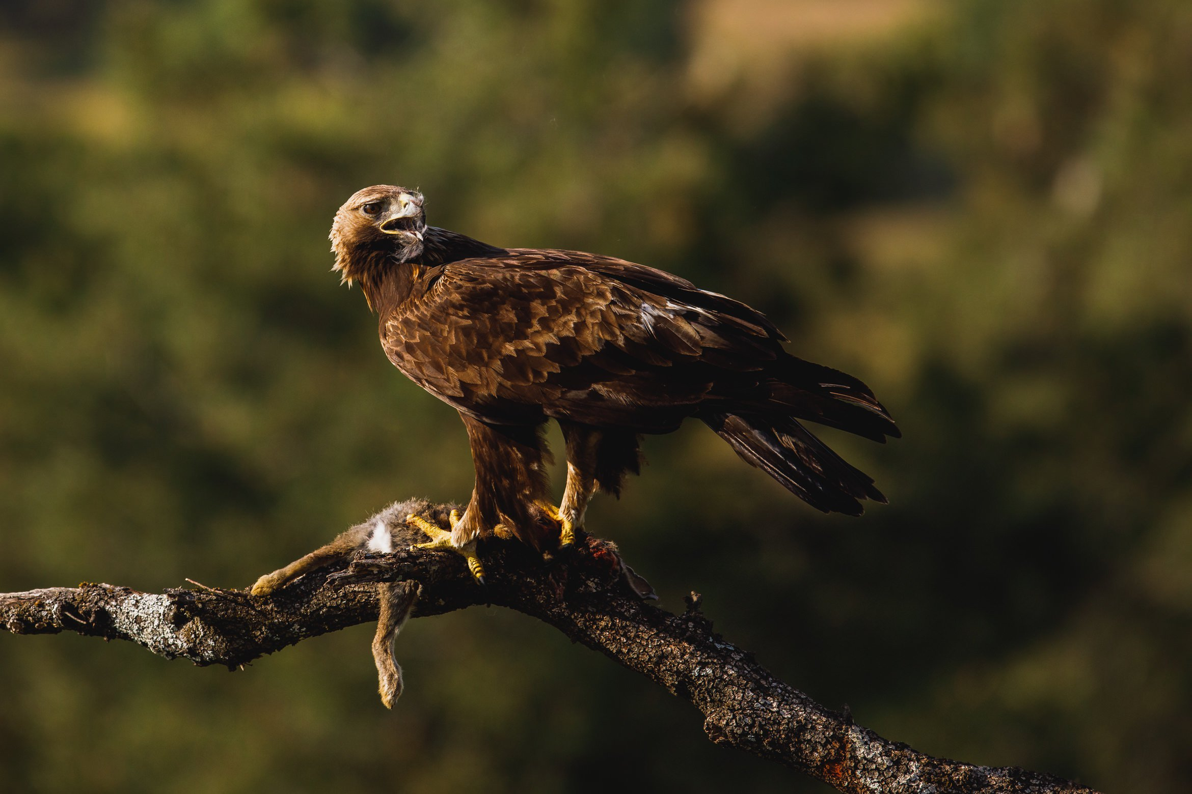A Golden Eagle Perched Whilst Feeding   Photographed During The NaturesLens Golden Eagles & Raptors Of Spain WIldlife Photography Holiday
