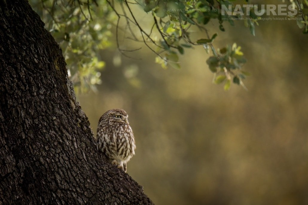 A Little Owl Perched On A Tree In One Of The Old Orchards Photographed During The NaturesLens Golden Eagles & Other Raptors Of Spain WIldlife Photography Holiday
