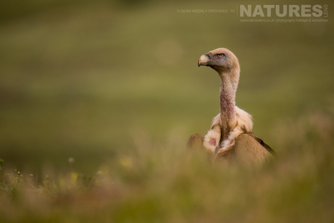 A Vulture Sticks Its Head Above The Grass At One Of The Carrion Hides   Photographed During The NaturesLens Golden Eagles & Other Raptors Of Spain WIldlife Photography Holiday