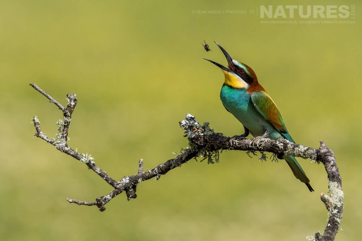 A Bee Eater Tossing An Insect, One Of The Classic Spanish Birds That You Will Be Able To Capture Images Of Photographed During The Spanish Birds Of The Calera Plains Photography Holiday