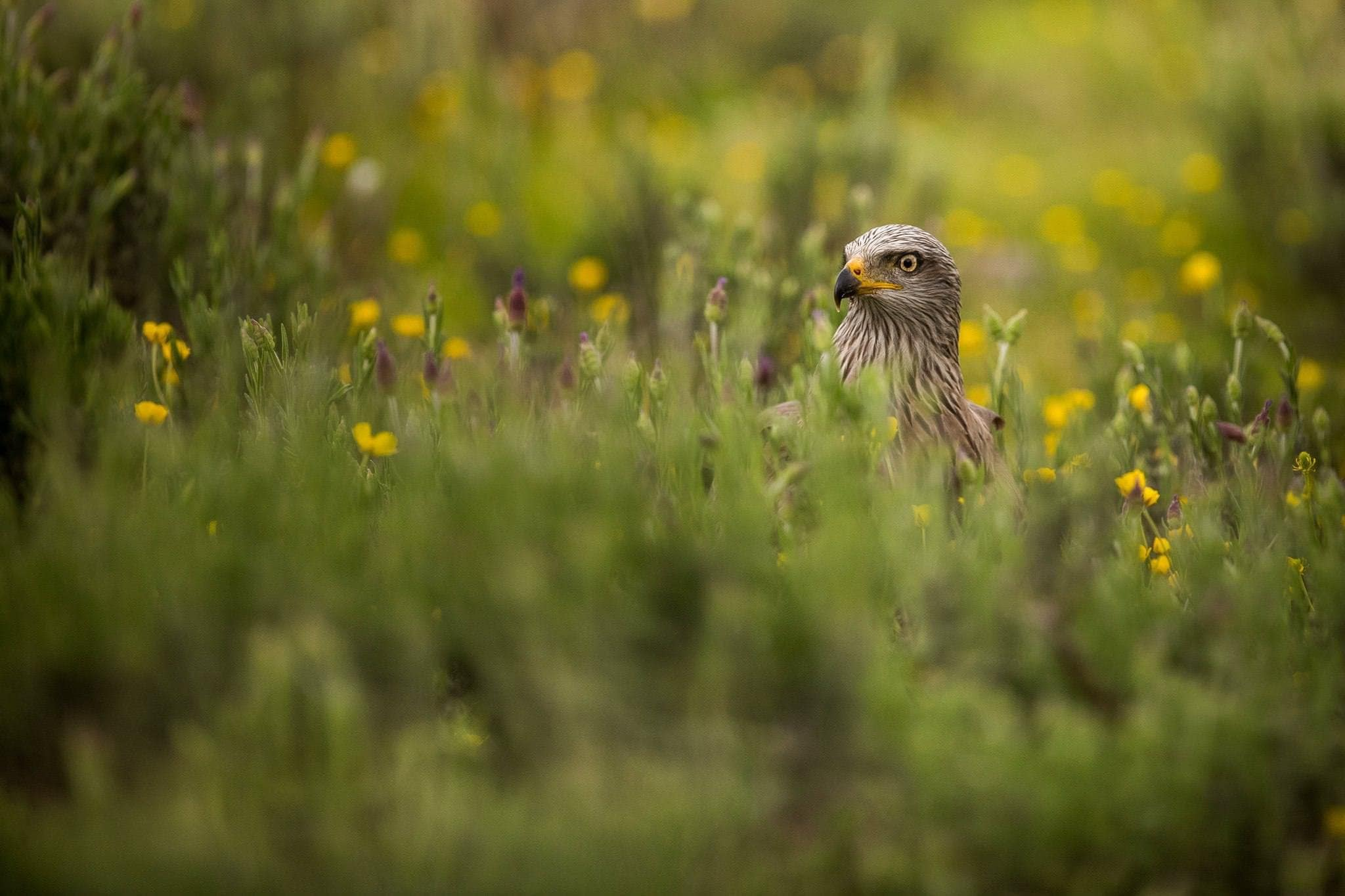 A Black Kite Amongst The Wildflowers Found At The Carrion Hide Photographed During The Spanish Birds Of The Calera Plains Photography Holiday