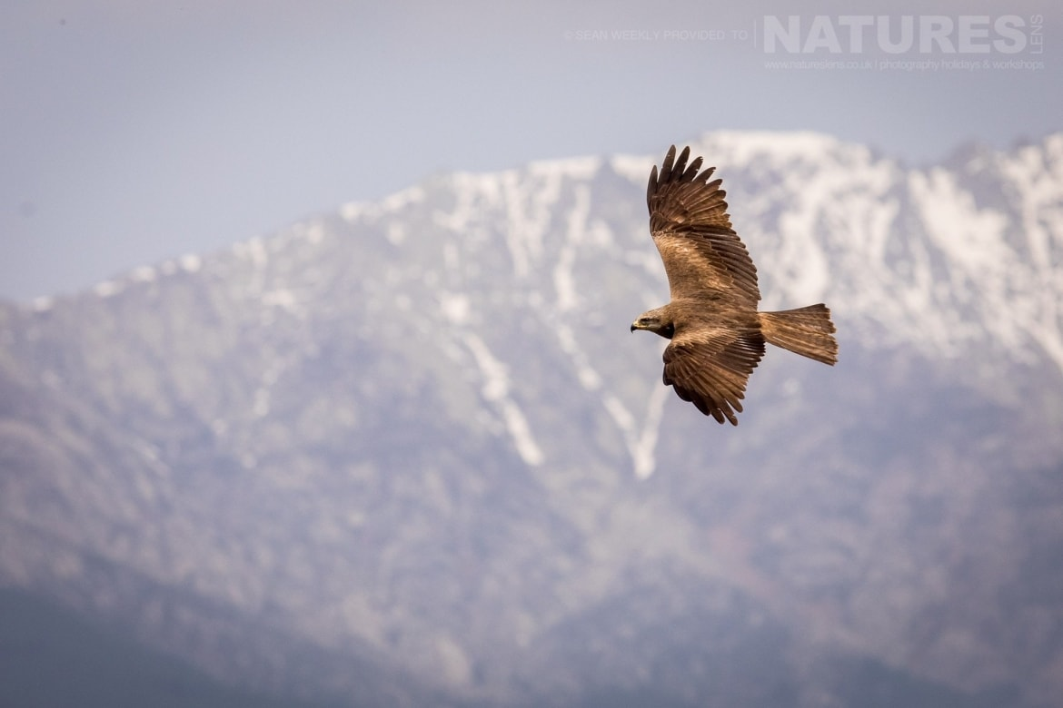 A Black Kite Soars Against The Snow Covered Mountains That Form The Backdrop To The Carrion Hide Photographed During The Spanish Birds Of The Calera Plains Photography Holiday