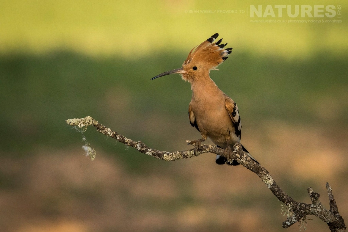A Hoopoe, One Of The Classic Spanish Birds That You Will Be Able To Capture Images Of   Photographed During The Spanish Birds Of The Calera Plains Photography Holiday