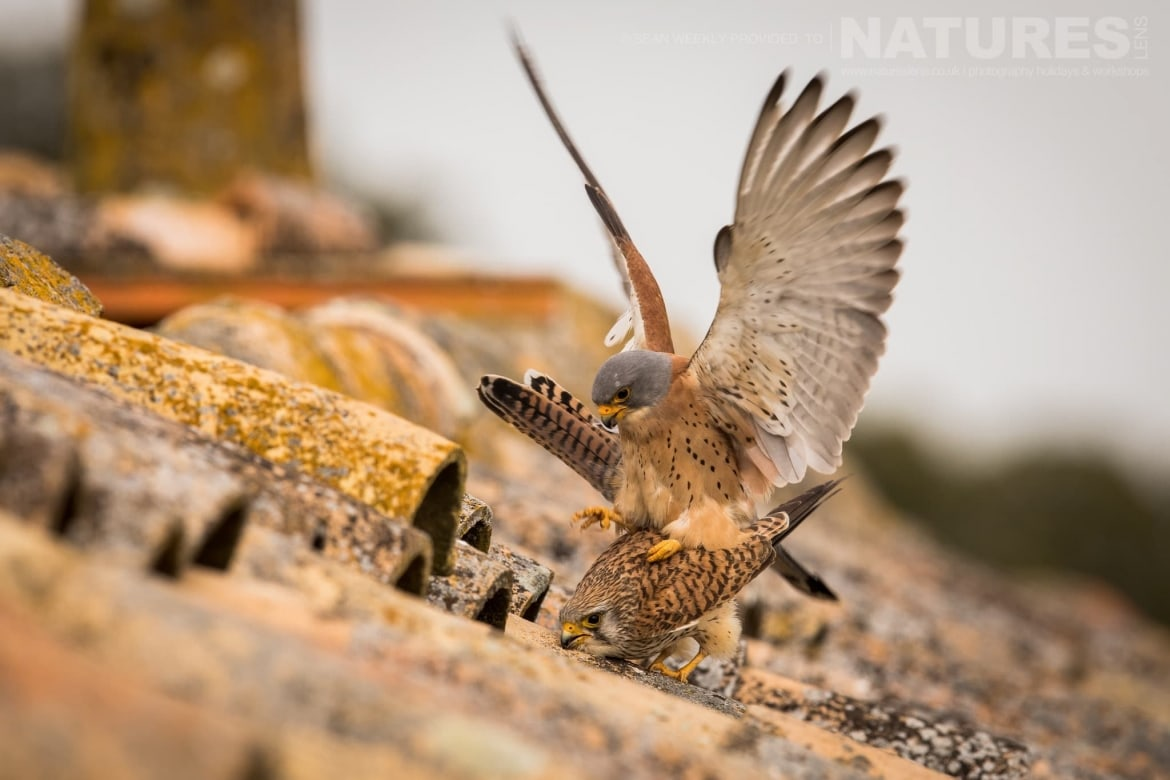 A Pair Of Lesser Kestrels Mating On The Tiled Rooftop Of A Derelict Barn Photographed During The Spanish Birds Of The Calera Plains Photography Holiday