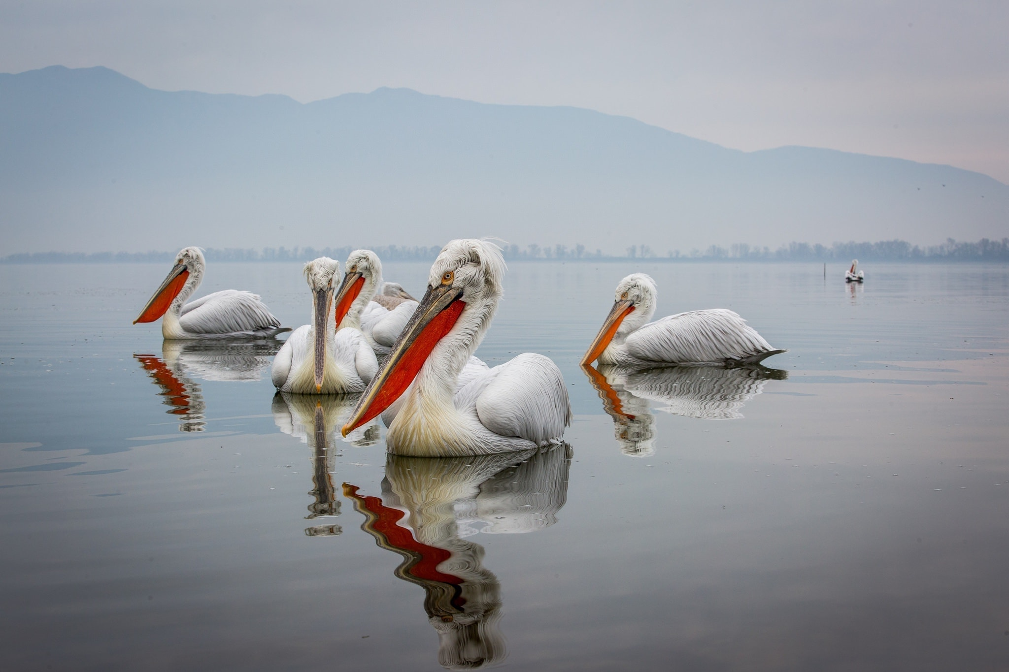 A Squadron Of Kerkini's Dalmatian Pelicans Drifts Across The Waters Of The Lake   Photographed During The NaturesLens Dalmatian Pelicans Of Kerkini WIldlife Photograhpy Holiday